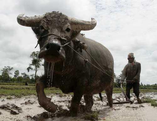 élevage de buffles (Thaïlande) ou traction par buffle