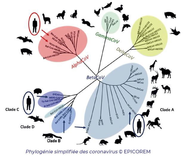 Phylogénie des coronavirus